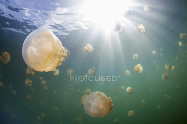 Group of golden jellyfish in Jellyfish Lake, Palau — Stock Photo
