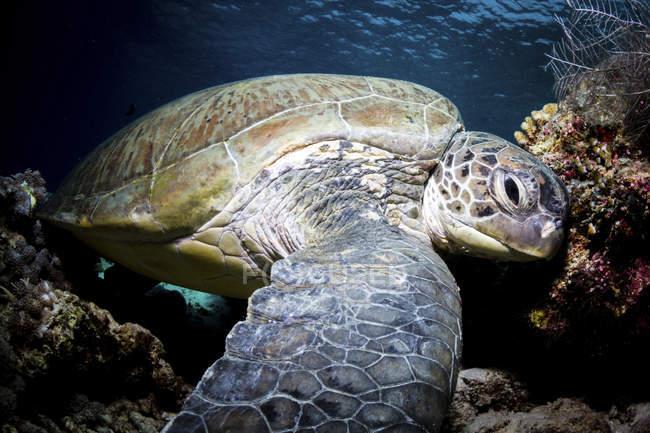 Closeup de vista de uma tartaruga verde no fundo do mar — Fotografia de Stock