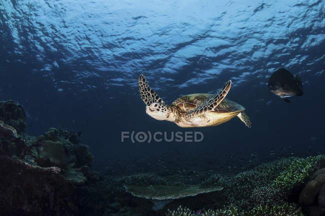 Tortue verte nageant sur un jardin de corail à Sipadan, en Malaisie — Photo de stock