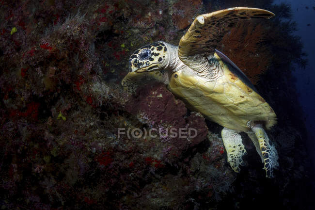 Tortuga carey nadando cerca del arrecife - foto de stock
