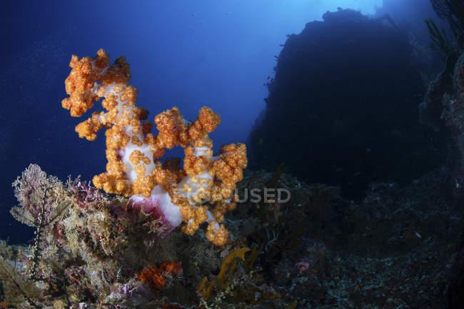 Bunte Weichkorallen auf dunklen Riff — Stockfoto