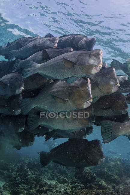 Schule der Büffelkopf Papageienfische im Blauwasser — Stockfoto