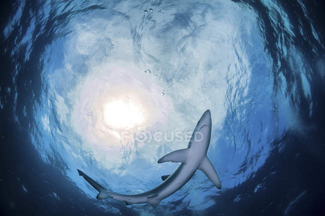 Bottom view of a blue shark swimming in blue water — Stock Photo
