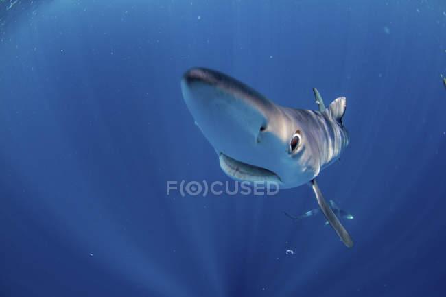 Крупным планом вид голубой акулы плавание в голубой воде — стоковое фото