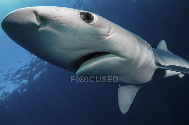 Vista de primer plano de un tiburón azul nadando en agua azul - foto de stock