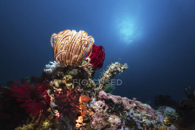 Collection des crinoïdes, des éponges et des coraux sur récif — Photo de stock