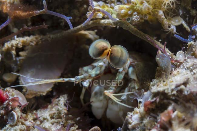 Camarón Mantis mira cabeza de perforación - foto de stock