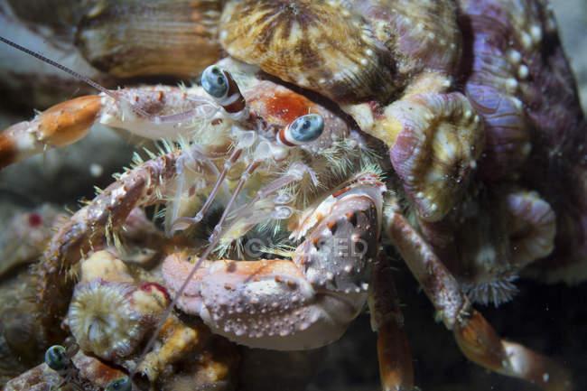 Vista de primer plano de cangrejo ermitaño en shell - foto de stock