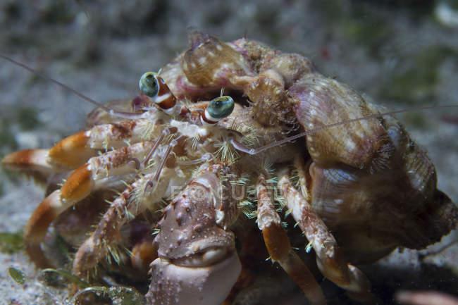 Vista de cerca de cangrejo ermitaño en fondo arenoso - foto de stock