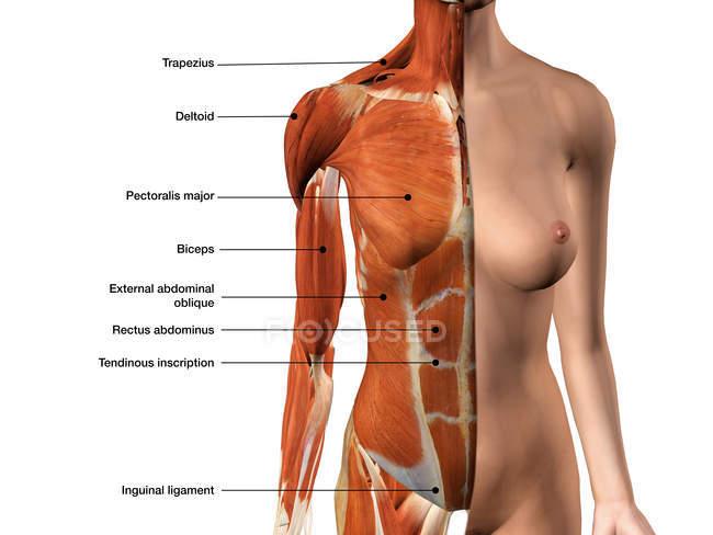 Muscoli del torace femminile con etichette su priorità bassa bianca — Foto stock