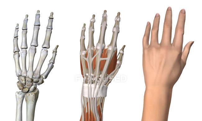 Три анатомических спинных вида женской руки — стоковое фото