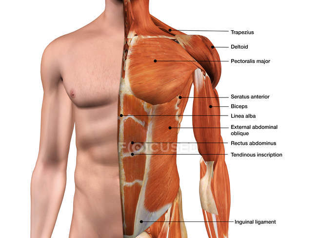 Male Anterior Thoracic Wall Chest Muscles Labeled On White