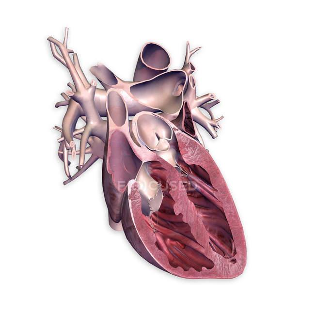 Sección transversal del corazón humano sobre fondo blanco - foto de stock