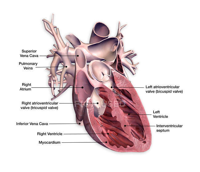 Поперечний переріз людського серця етикетки на білому тлі — стокове фото