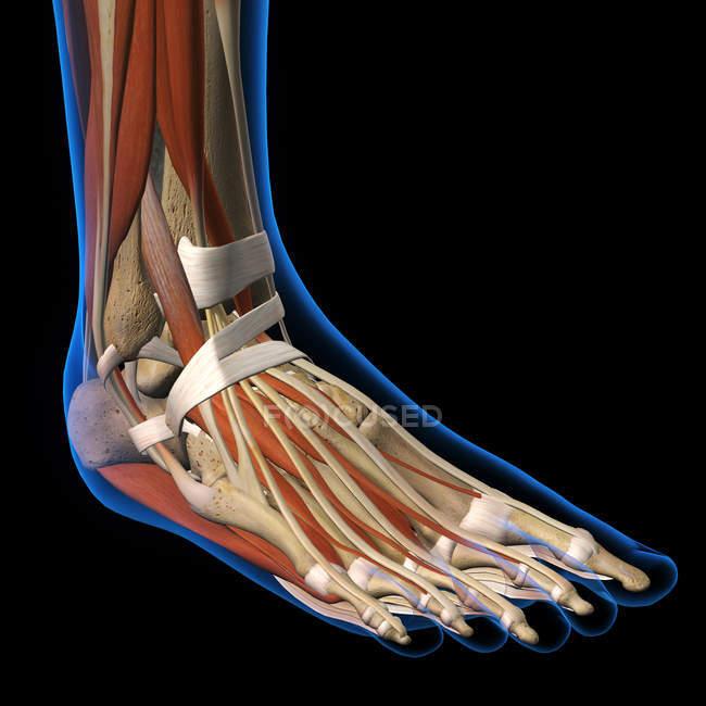 Dorsale Ansicht des menschlichen Fußes Röntgen mit Muskeln — Stockfoto