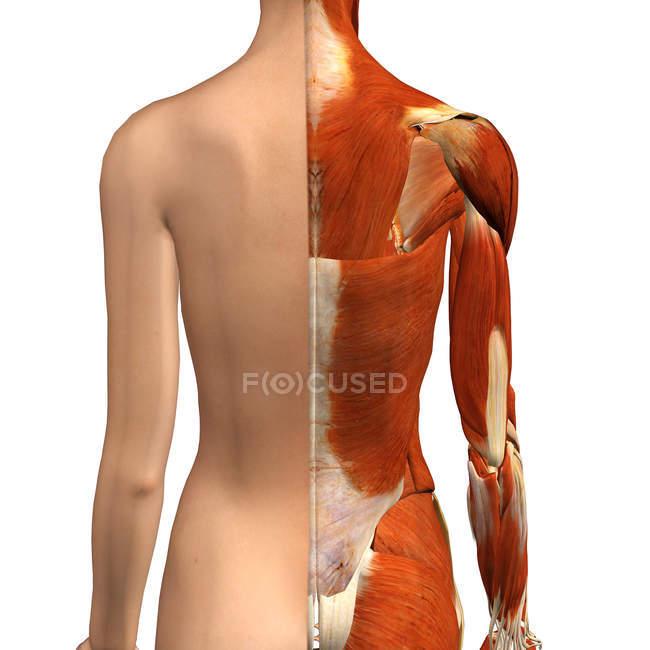 Vista posterior de los músculos femeninos con capa de piel dividida sobre fondo blanco - foto de stock