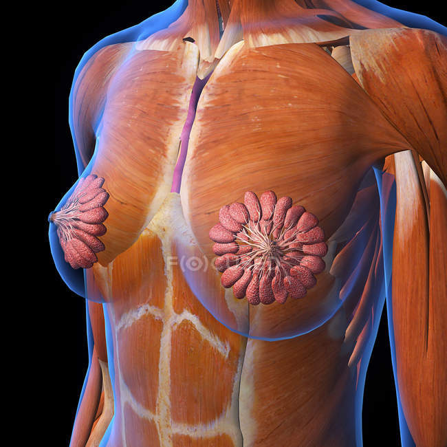 Female chest and breast anatomy on black background — Stock Photo