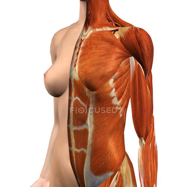 Женская грудь и живот мышцы с Сплит слой кожи на белом фоне — стоковое фото