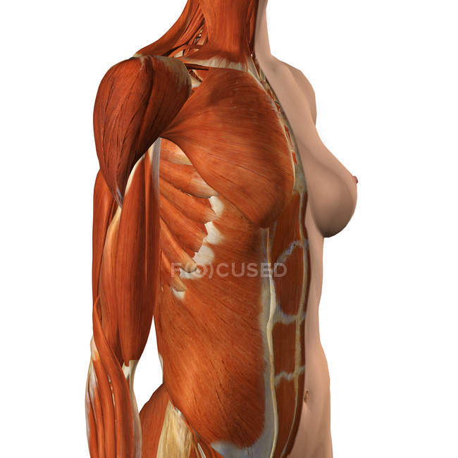 Female chest and abdomen muscles with split skin layer on white background — Stock Photo