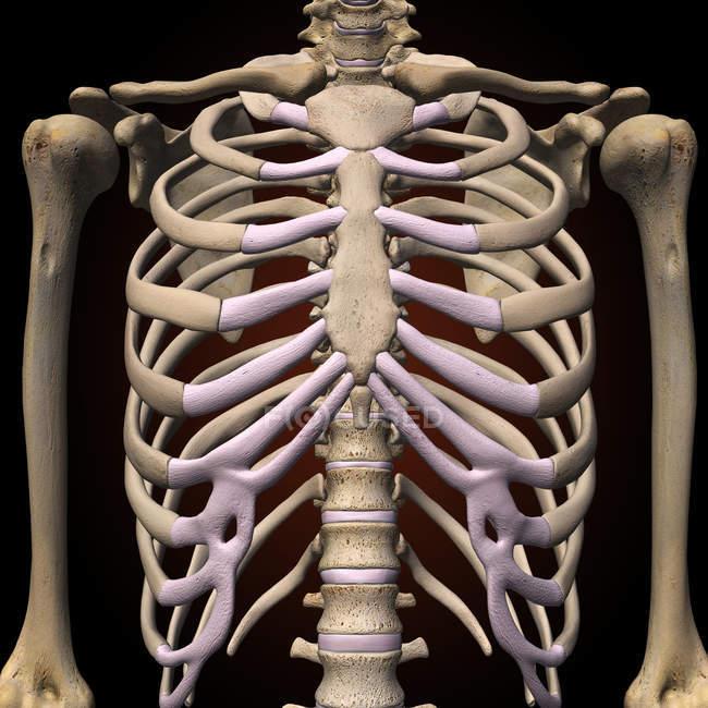 Vista frontale della gabbia toracica e della colonna vertebrale su priorità bassa nera — Foto stock
