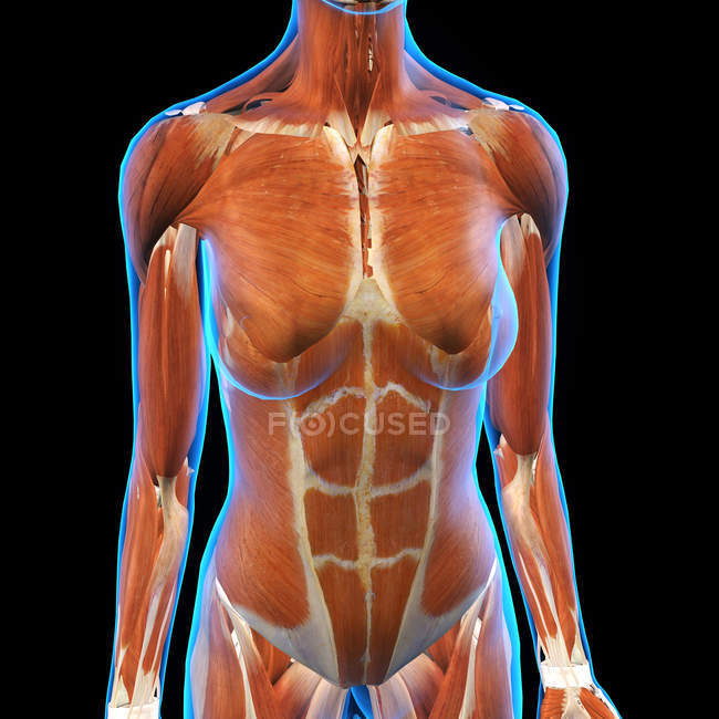 Female chest and abdomen muscles on black background — Stock Photo