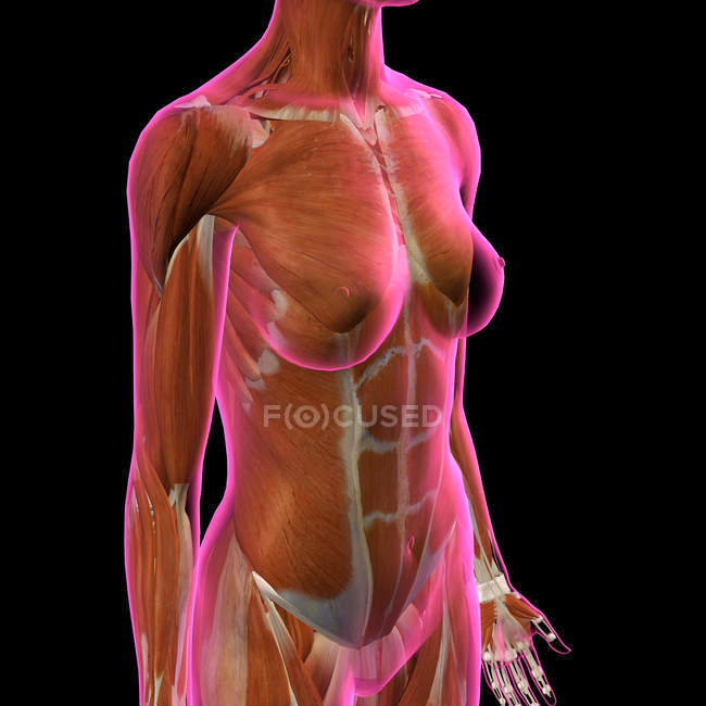 Female chest and abdomen muscles on black background — Stockfoto