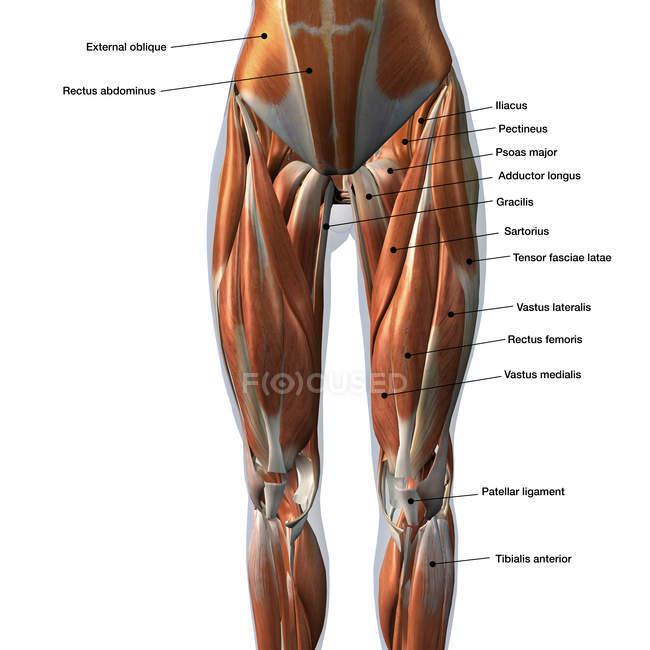 Жіночий передніх ніжок м'язи етикетки на білому тлі — стокове фото