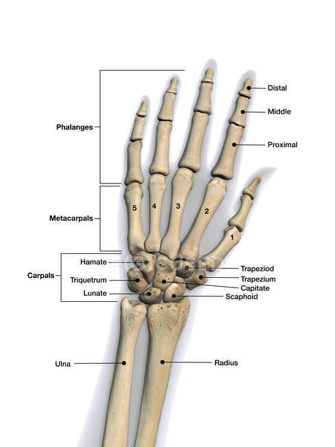 Кістки людини рукою етикетки на білому тлі — стокове фото