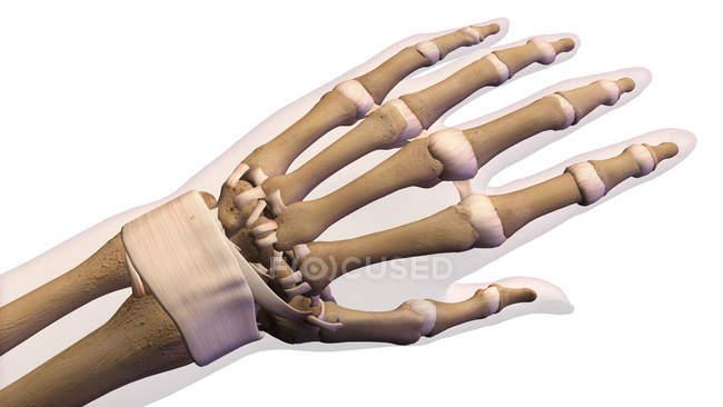 Huesos de la mano humana sobre fondo blanco - foto de stock