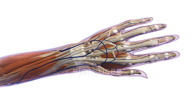 Anatomía de la mano humana sobre fondo blanco - foto de stock