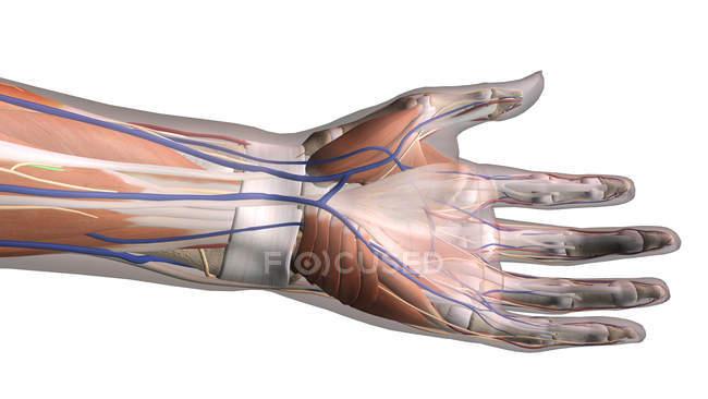 Vista ventrale di anatomia della mano su priorità bassa bianca — Foto stock