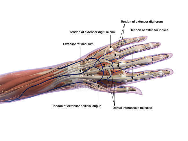 Анатомія людської руки етикетки на білому тлі — стокове фото