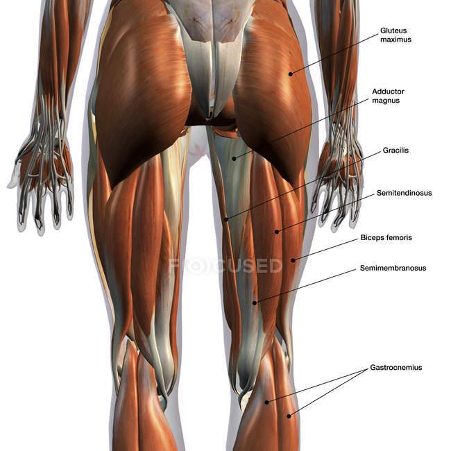 Задній вид м'язи ніг на білому тлі, етикетки — стокове фото