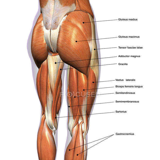 Rear View Of Leg Muscles On White Background With Labels Stock