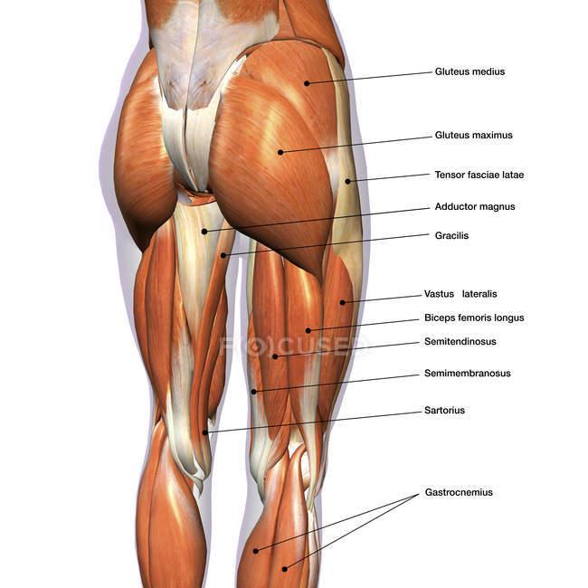 Задній вид м'язи ніг на білому тлі, етикетки — Stock Photo