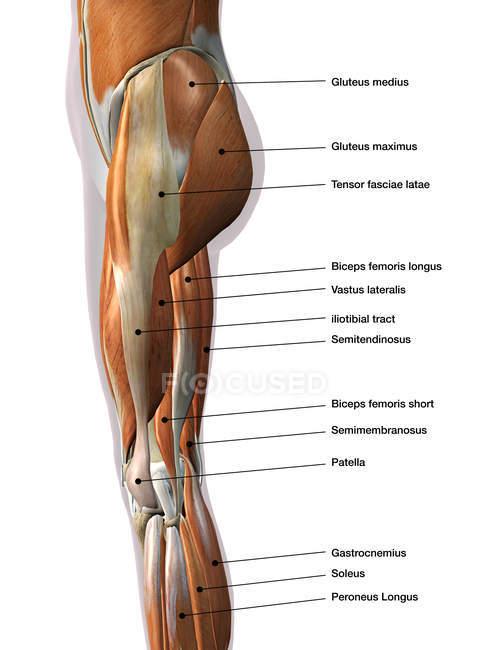 М'язи ніг жіноча етикетки на білому тлі — стокове фото