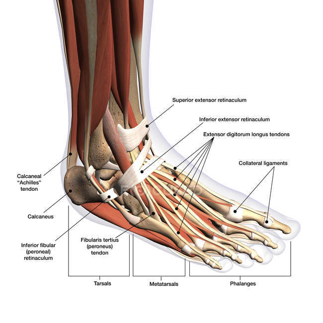 Anatomy Of Human Foot With Labels On White Background
