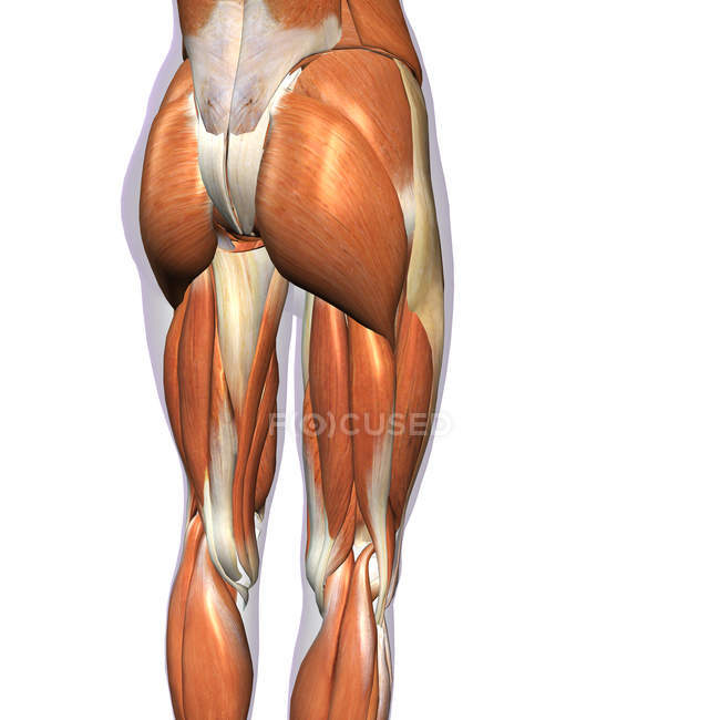 Вид сзади мышц бедра и ног на белом фоне — стоковое фото