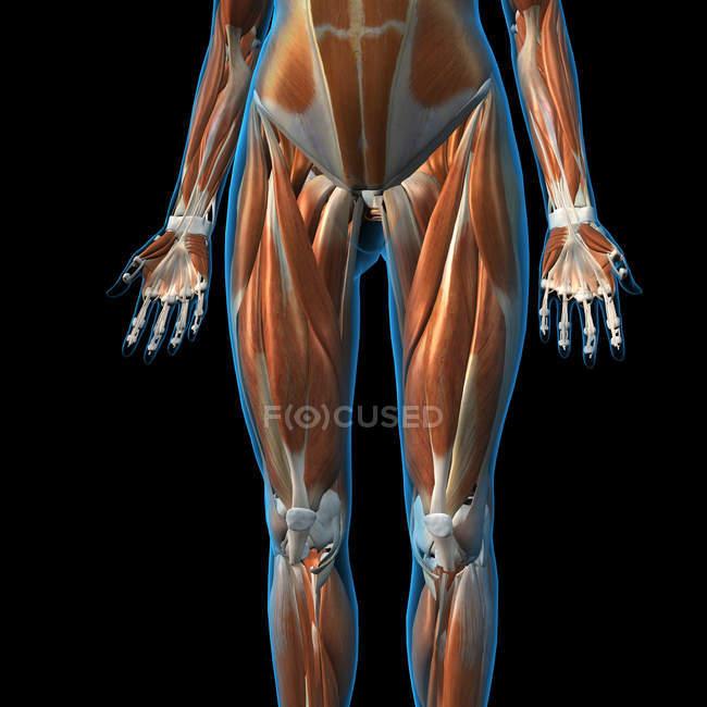 Фронтальний вид м'язи жіночих ніг на чорному фоні — стокове фото