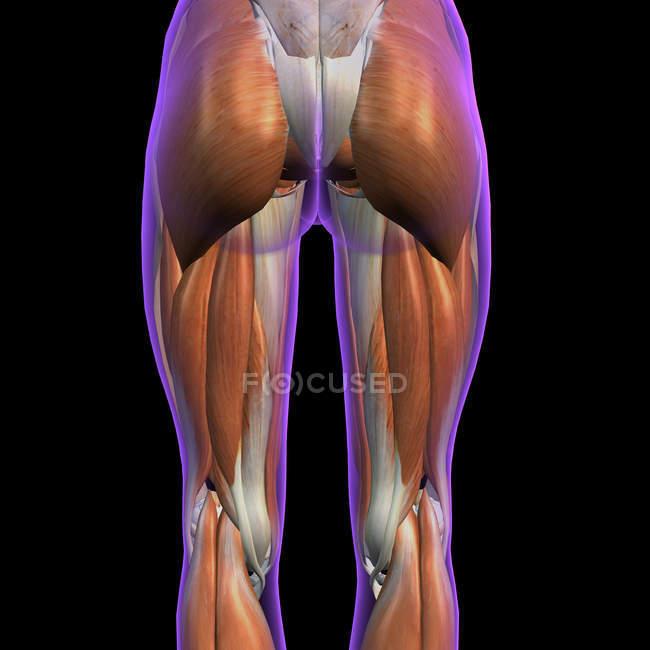 Задний вид женских мышц бедра и ног на черном фоне — стоковое фото