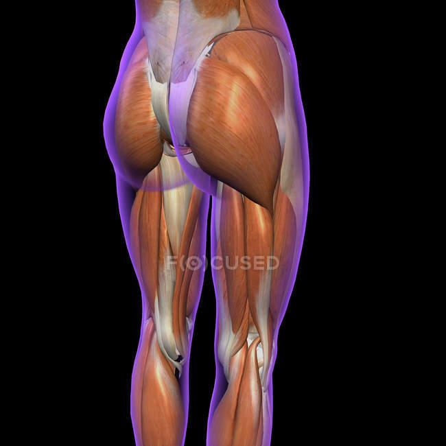 Vista lateral y posterior de los músculos femeninos de cadera y pierna sobre fondo negro - foto de stock