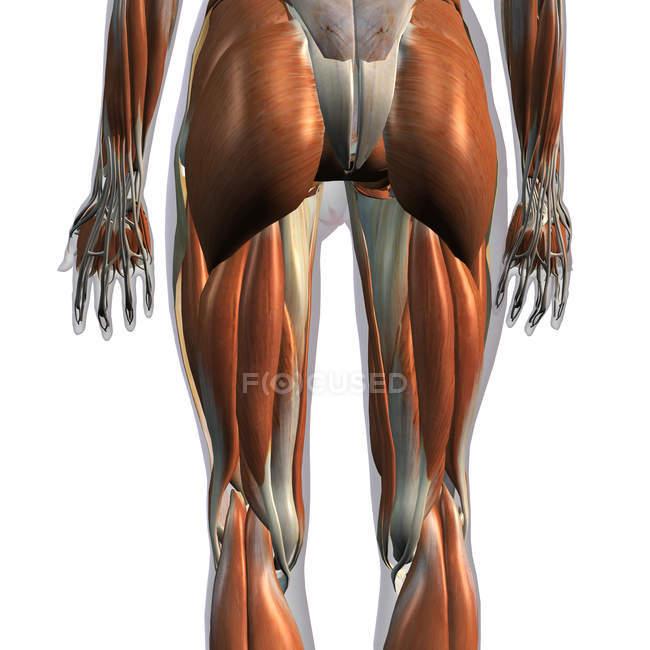 Задний вид мышц женских ног на белом фоне — стоковое фото