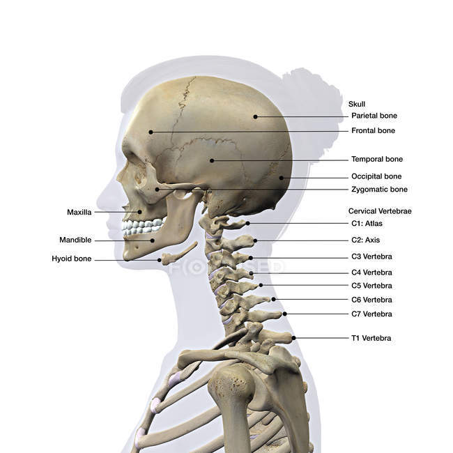 Lateral view of a female skull and cervical spine on white background with labels — Stock Photo