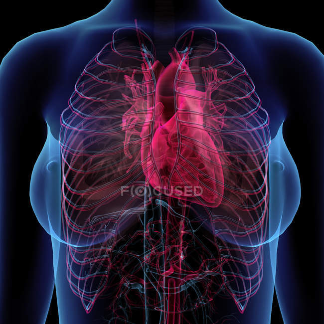 Cardiovascular System Stock Photos Royalty Free Images Focused