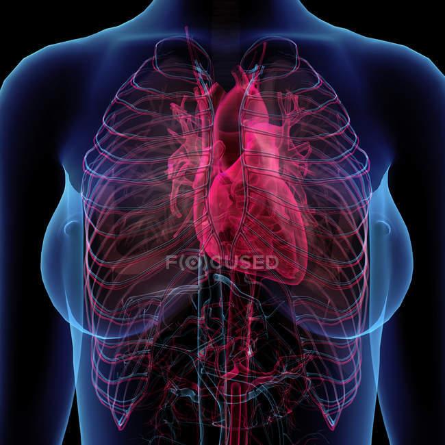 Vista de rayos X del pecho femenino con corazón y sistema circulatorio - foto de stock