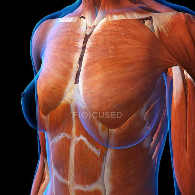 Мышцы женской груди на черном фоне — стоковое фото