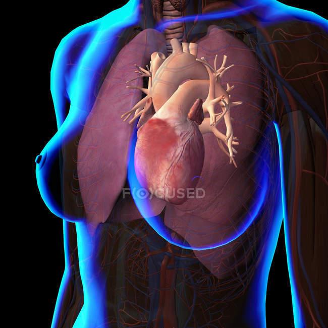 Peito feminino com coração e pulmões em fundo preto — Fotografia de Stock