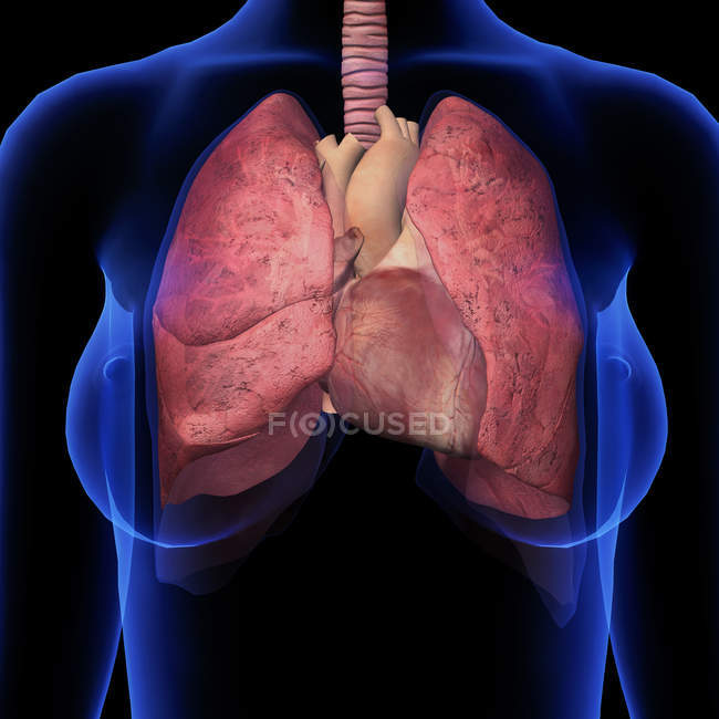 Front view of female chest with heart and lungs on black background — Stock Photo