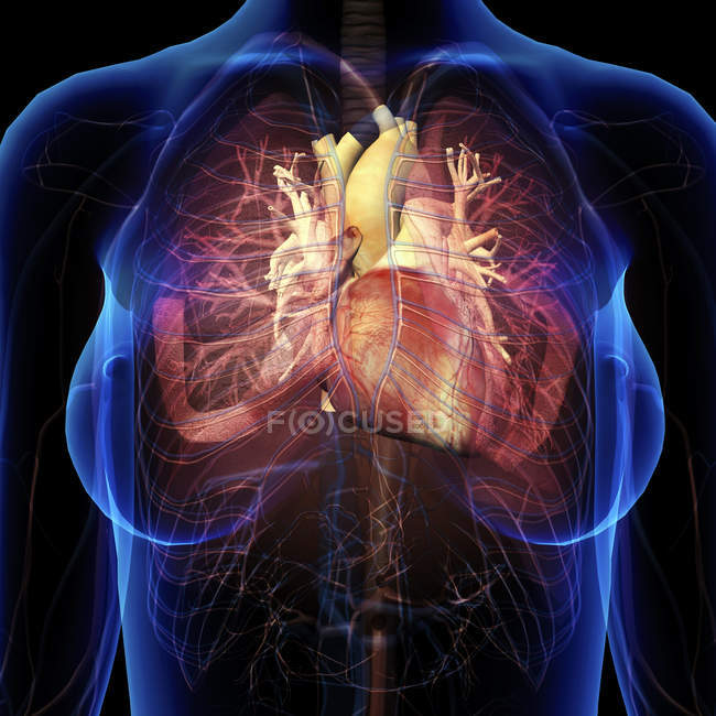 Женская грудь с сердцем и бронхов на черном фоне — стоковое фото
