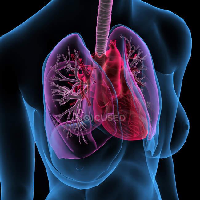 Radiografia de tórax feminino com coração e pulmões sobre fundo preto — Fotografia de Stock